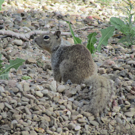 squirrel, Canon POWERSHOT SX420 IS