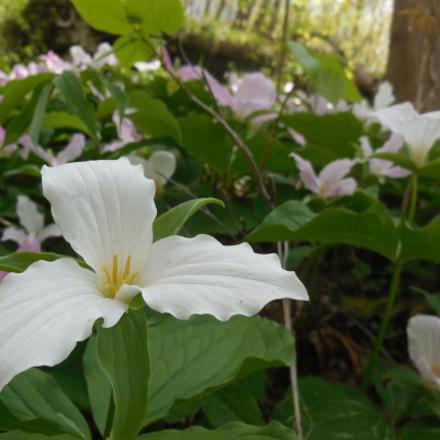 Trillium in Bloom, Nikon COOLPIX S6500