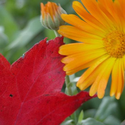 Autumn Flower, Nikon E5700