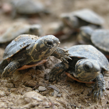Newborn Turtles, Nikon E5700