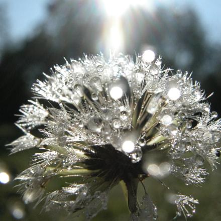 Morning Dew Dandelion, Nikon E5700
