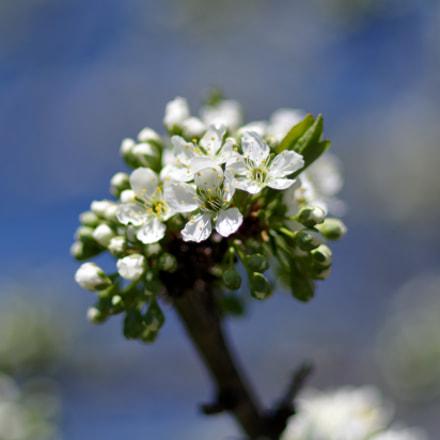 Spring Plum Blossom, RICOH PENTAX KP, smc PENTAX-FA 77mm F1.8 Limited