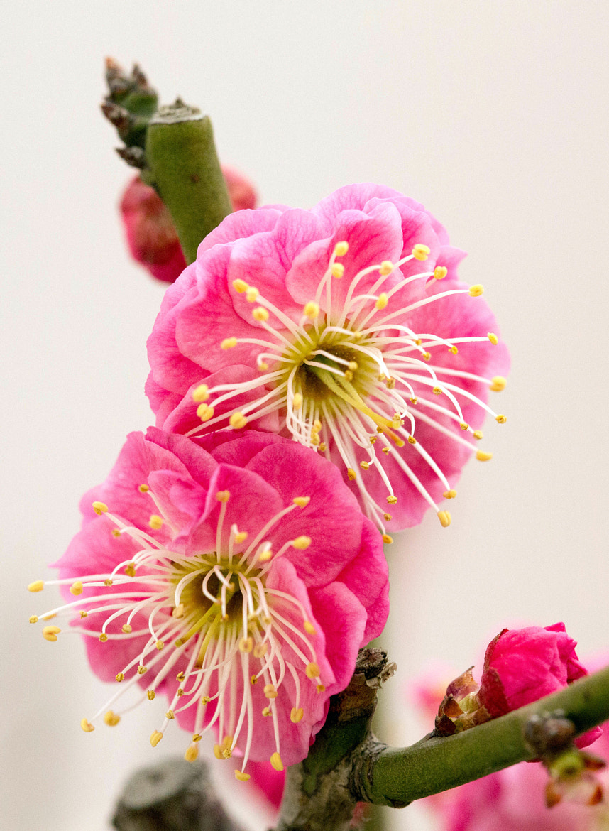 Photograph Plum flower by Qi Zhi on 500px