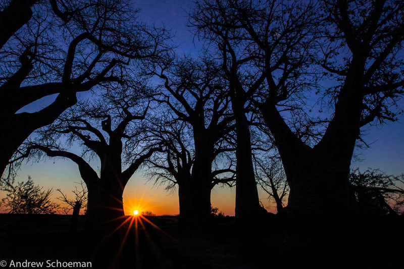 Photograph Baobab sunset by Andrew Schoeman on 500px