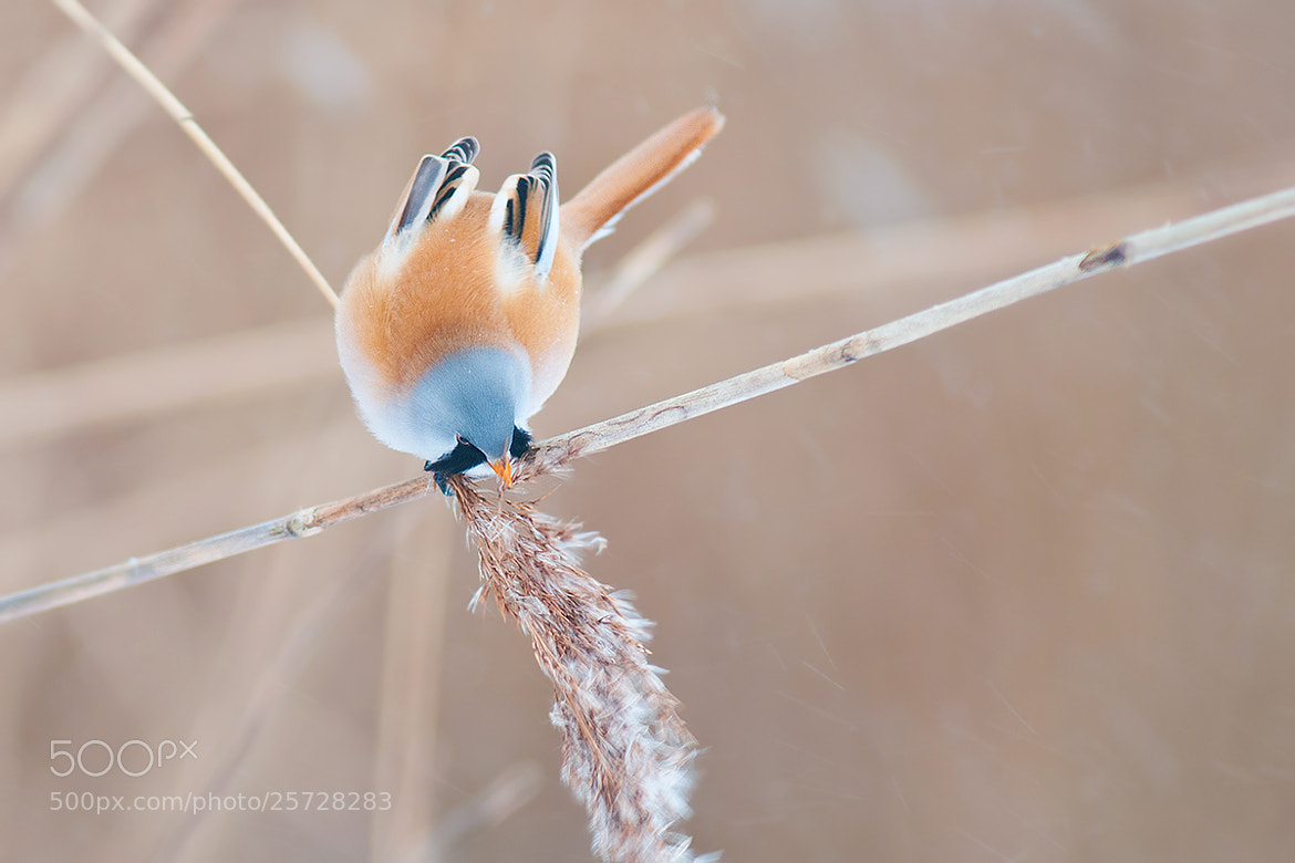 Photograph Bearded Reedling Male by Rob Janné on 500px