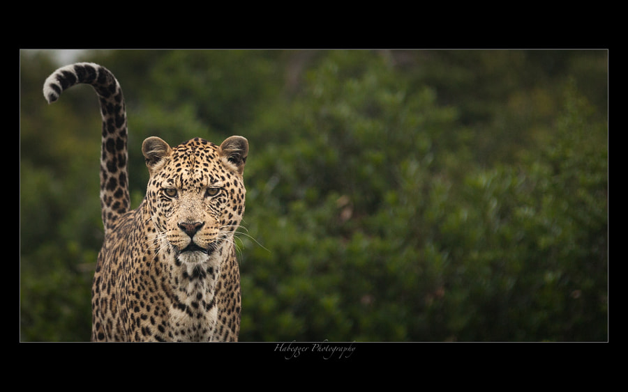 This was one of three Leopards living together at Shamwari Wilderness Foundation. As they originally come from a private Zoo and never learnt to hunt, they still life in captivity, but in a large and most comfortable enclosure. Since they never had to hunt for food, you can clearly see a torus on the neck because of the lack of exercise, something you wouldn't see with a leopard in the wilderness.