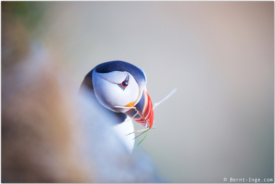 Atlantic puffin / Lundefugl by Bernt-Inge Madsen on 500px.com