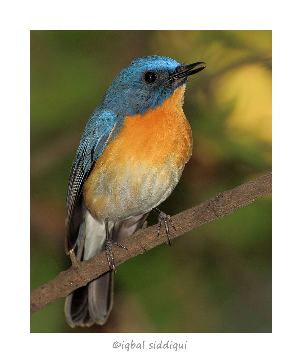 Photograph TICKELL'S BLUE FLYCATCHER by Iqbal Siddiqui on 500px