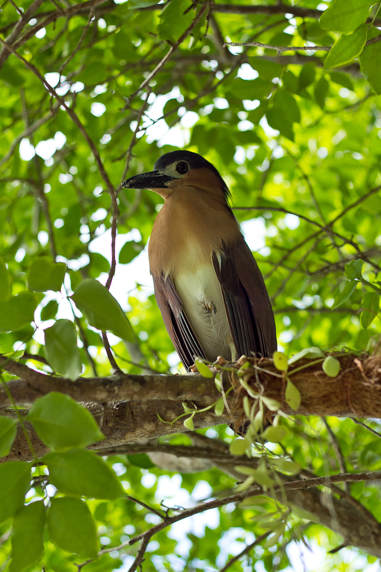 Photograph Night Heron by Eric Robles  on 500px