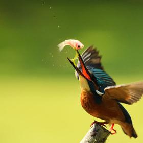 Common Kingfisher II by Boris Smokrovic (BorisSmokrovic)) on 500px.com