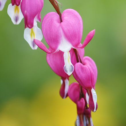 Bleeding Heart, Nikon D500, AF Micro-Nikkor 200mm f/4D IF-ED