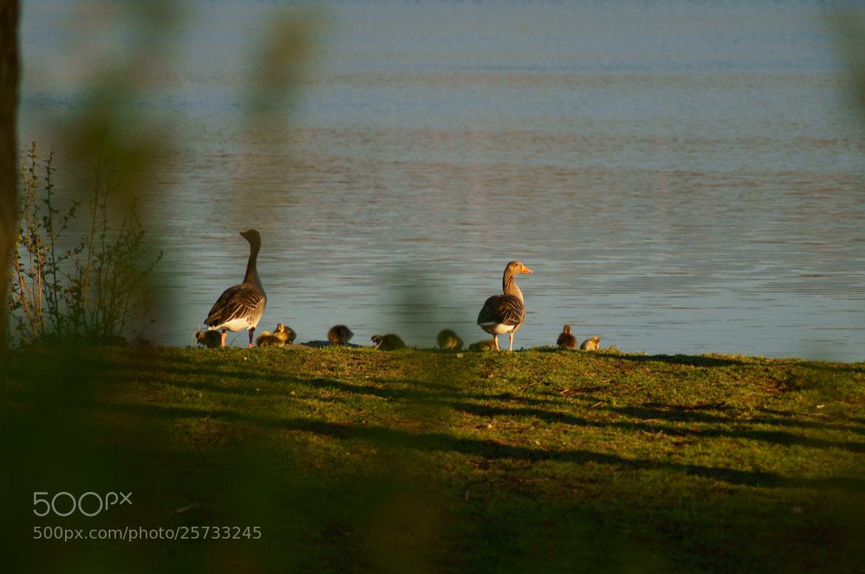 Photograph Goose Familiy by Martin Bimböse on 500px
