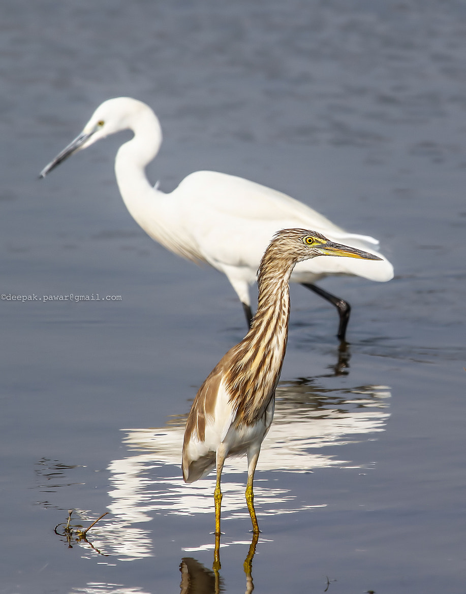 Photograph ~ A Bittern in Egret's shadow ~ by Deepak Pawar on 500px