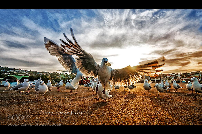 Photograph Seagulls by Parvez Khaled on 500px