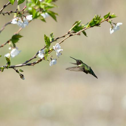 Ruby Throated Hummingbird, RICOH PENTAX KP