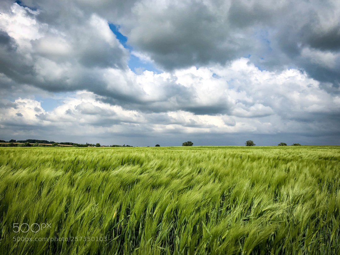 Corn field growing...