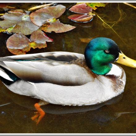 Le canard colvert , Nikon COOLPIX S3700