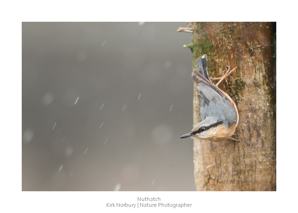Photograph Nuthatch by Kirk Norbury on 500px