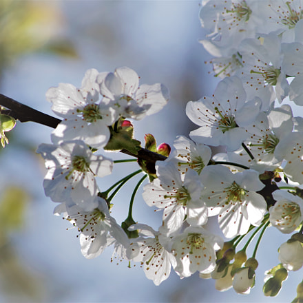 morning blossoms, RICOH PENTAX K-S2, HD PENTAX-DA 55-300mm F4-5.8 ED WR