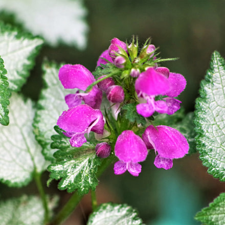 nettle plant in bloom, RICOH PENTAX K-S2, HD PENTAX-DA 55-300mm F4-5.8 ED WR