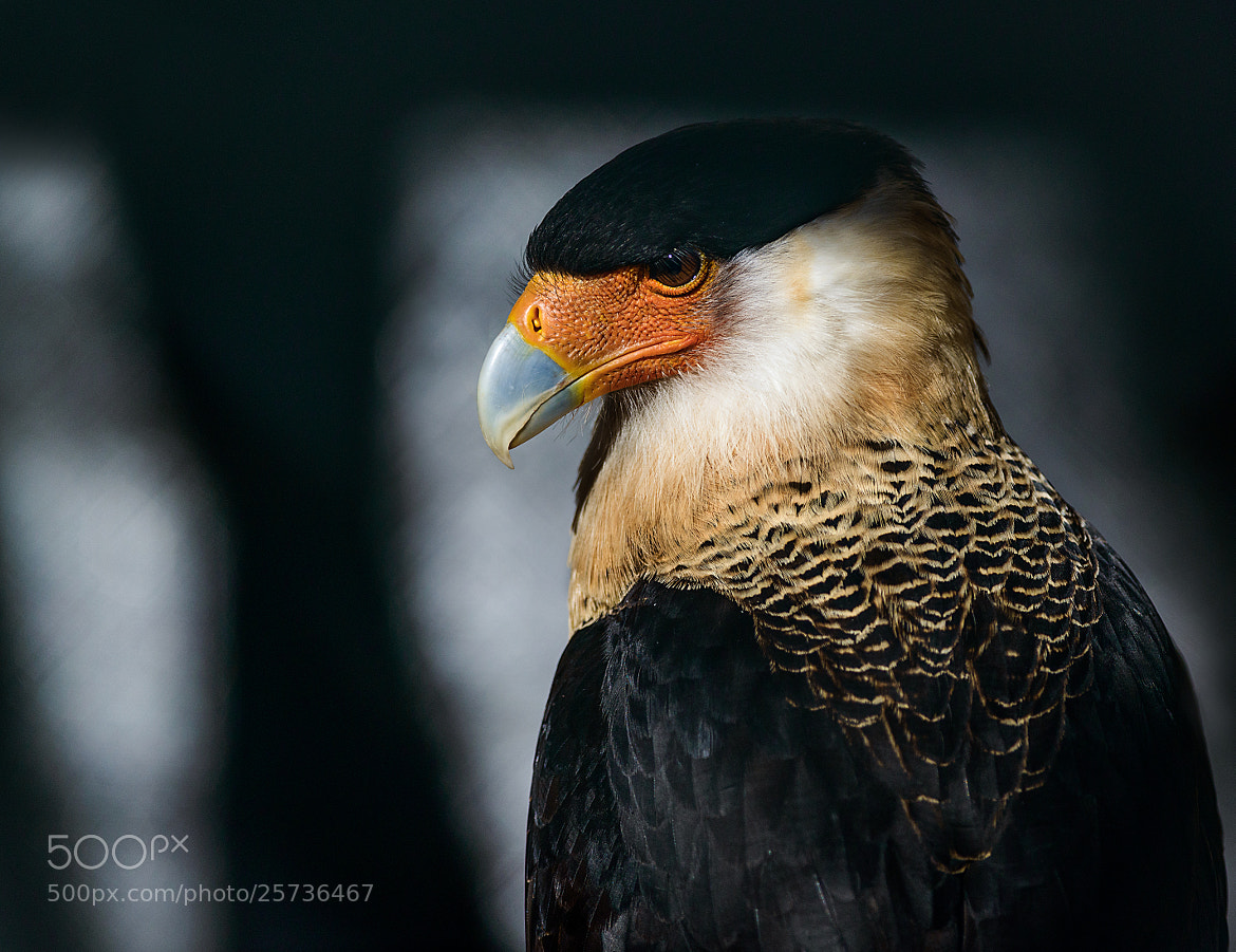 Photograph Crested Caracara by Greg Padgett on 500px
