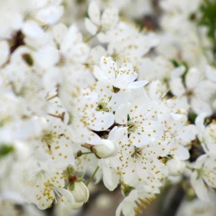 spring blossom, Canon POWERSHOT SX220 HS