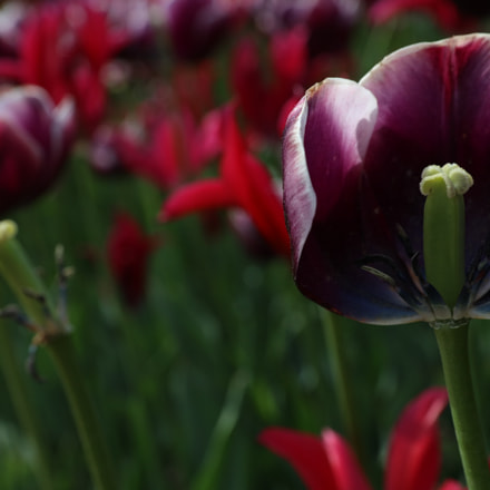 Tulips, Canon EOS 5DS R, Canon EF 24-70mm f/2.8L II USM
