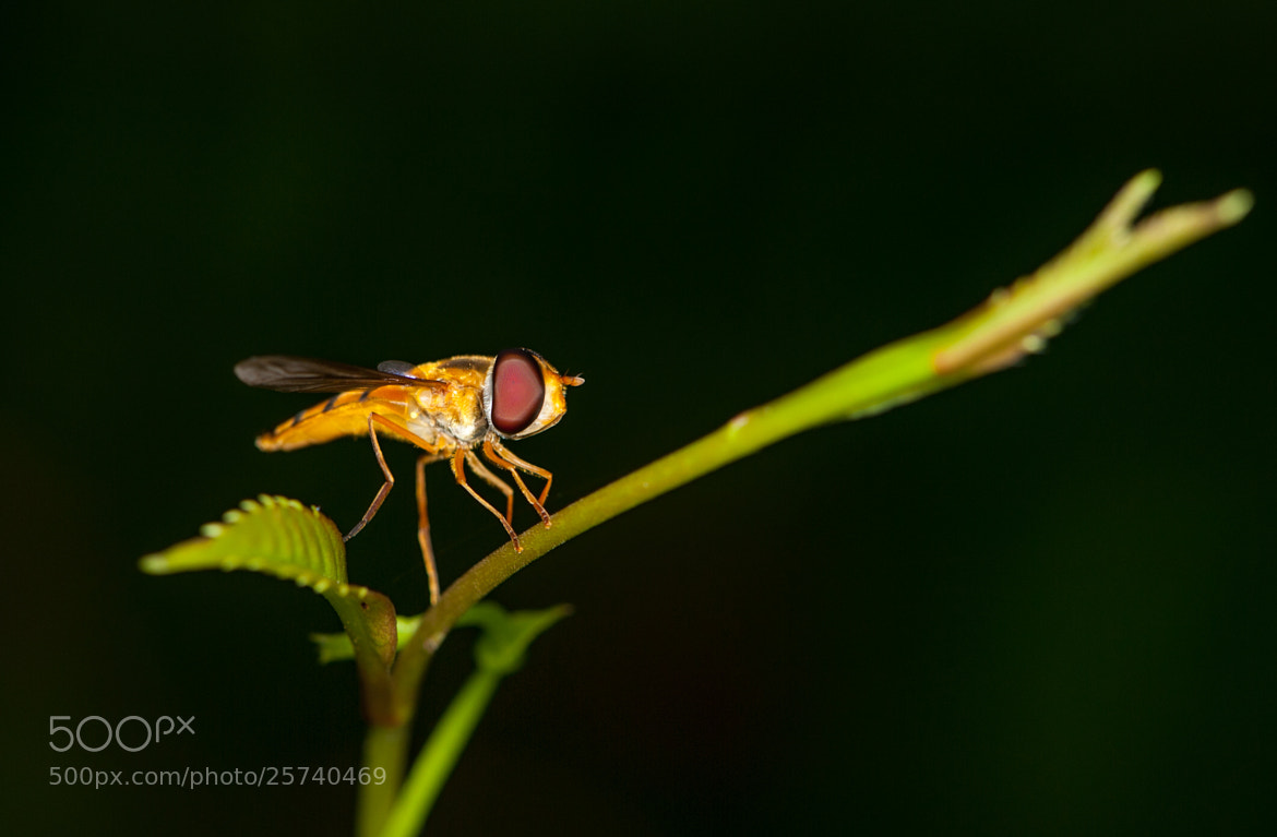 Photograph Hoverfly1 by Tops Beltran on 500px