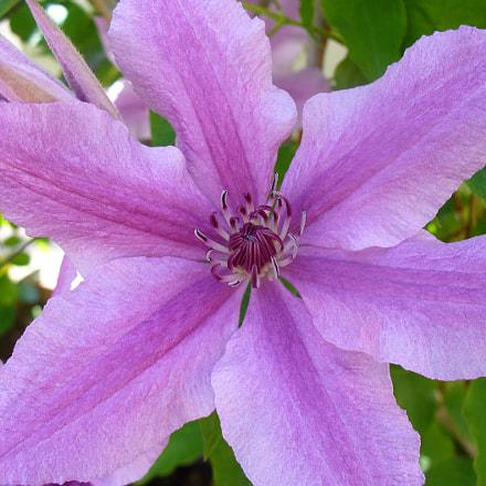 Violet (clématite), Panasonic DMC-LZ5