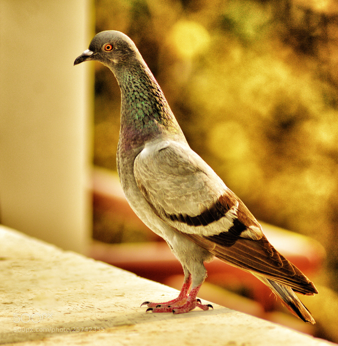 Photograph Pigeon Textures by Ravi S R on 500px