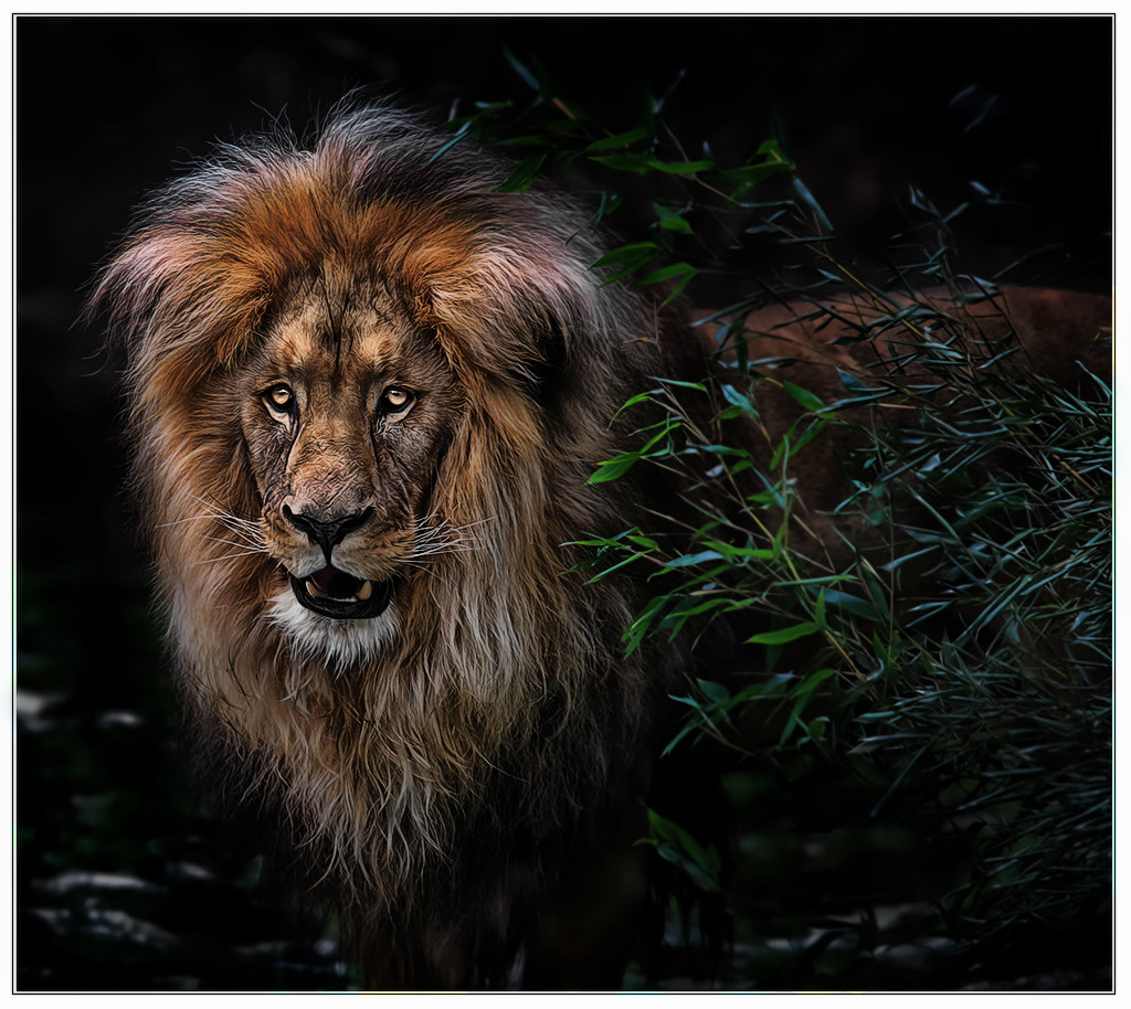 Photograph The lion sleeps tonight ... ? by Klaus Wiese on 500px