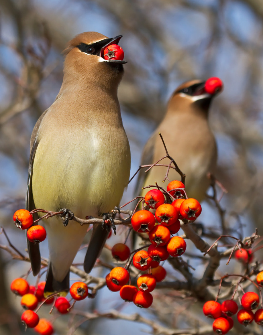 Photograph Cedar Waxwings by Lorraine Hudgins on 500px
