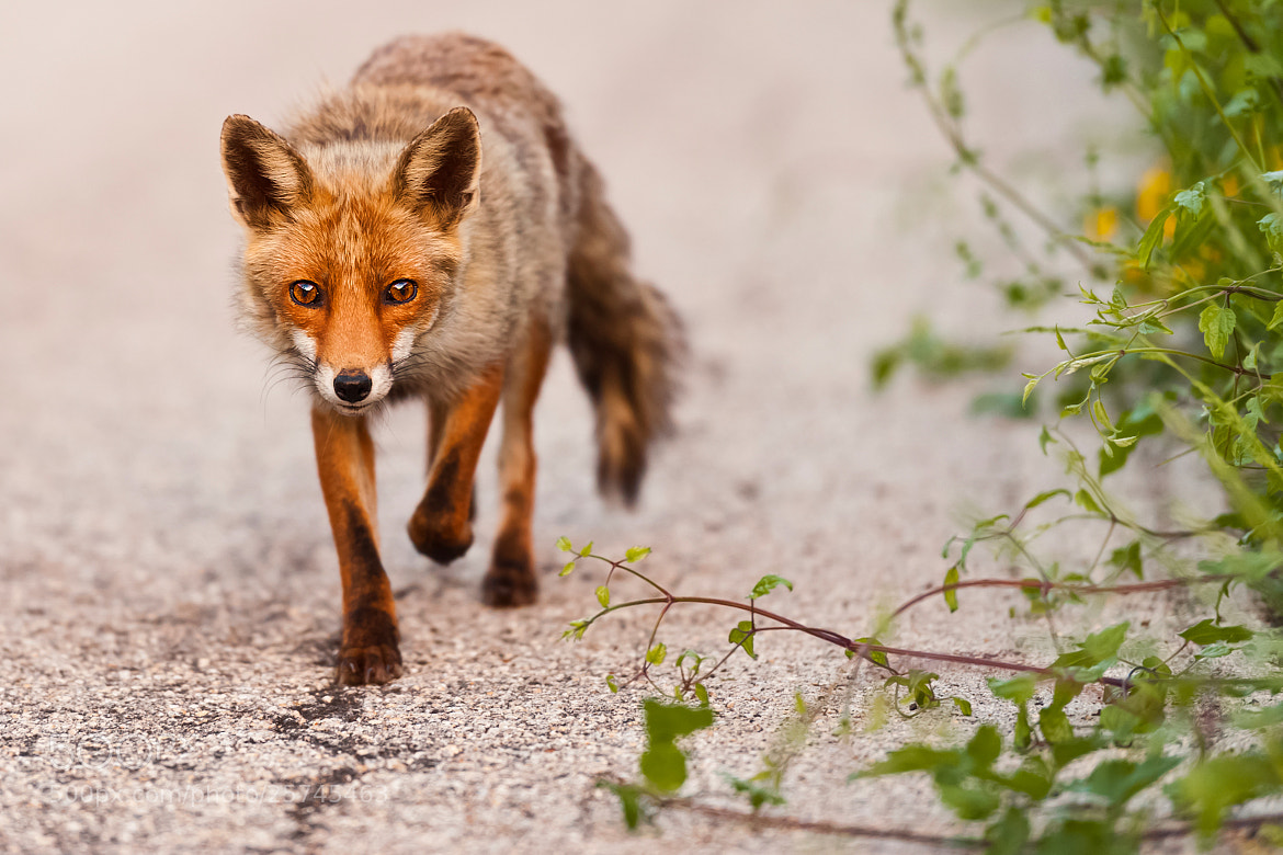 Photograph Foxy lady by Stefano Caraccio on 500px