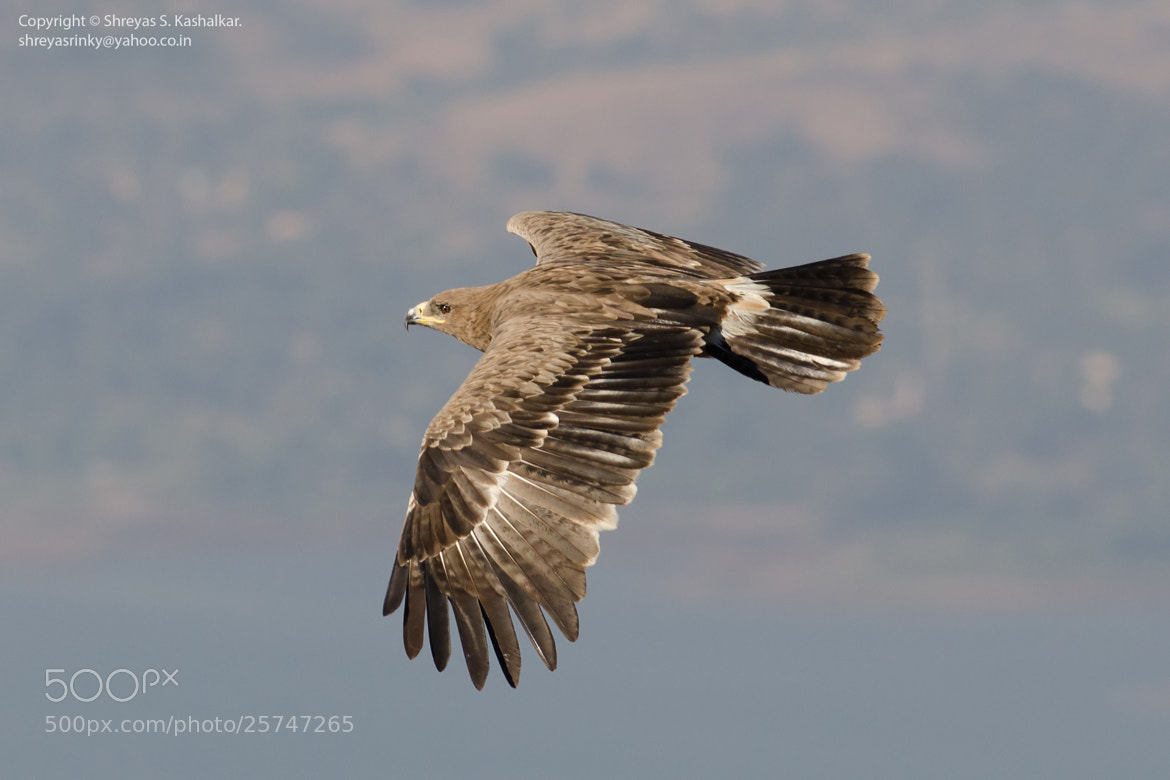 Photograph Steppe Eagle in Flight by Shreyas Kashalkar on 500px