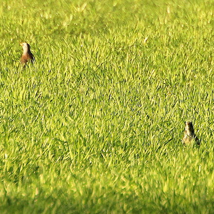 The thrushes in green., Canon EOS 700D, Canon EF 70-300mm f/4.5-5.6 DO IS USM