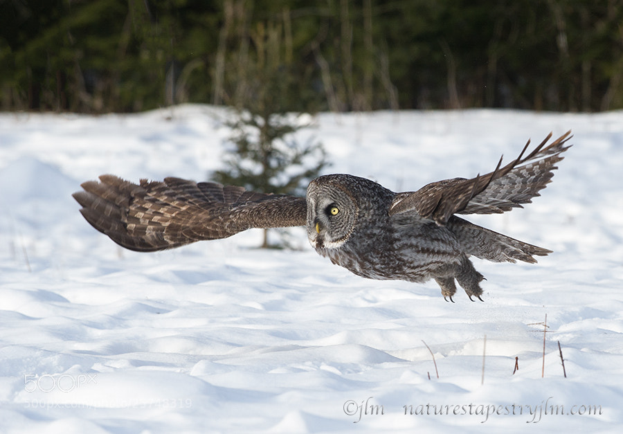 Photograph The Silent Flyer !!!!!      { Great Grey Owl  } by Judylynn Malloch on 500px