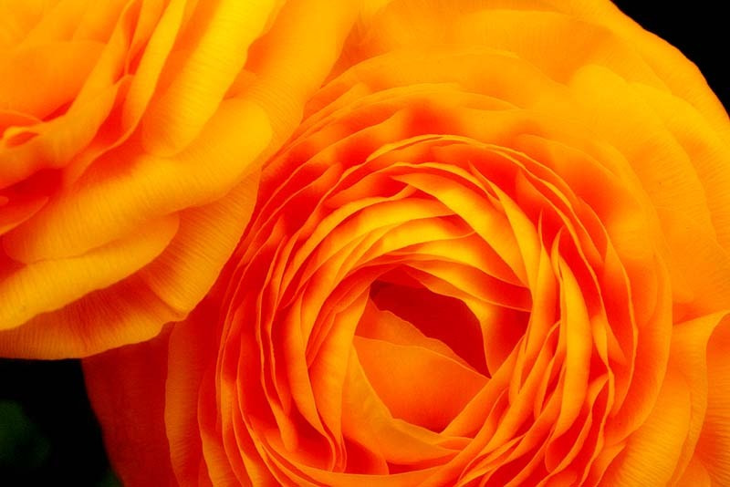 Photograph A Rosy Hue by Simon Griffiths on 500px