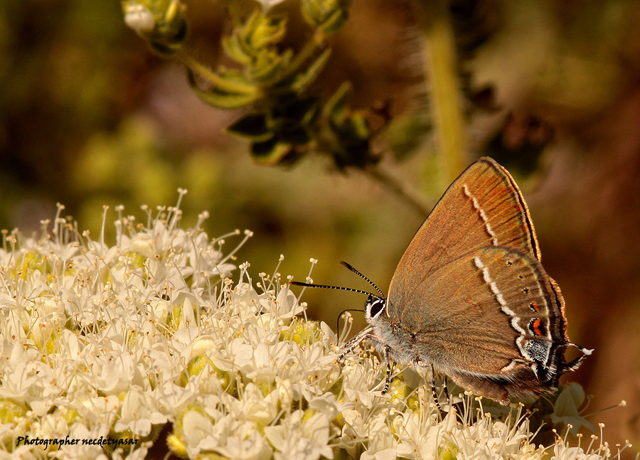 Photograph Butterfly by Necdet Yasar on 500px