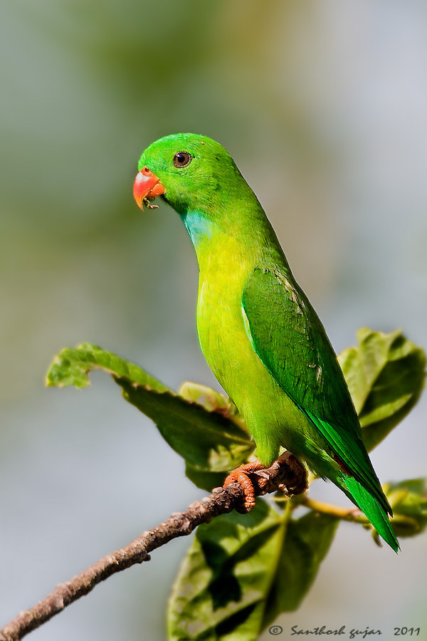 Photograph The Handsome Guy. -- Vernal Hanging Parrot by Santhosh Gujar on 500px