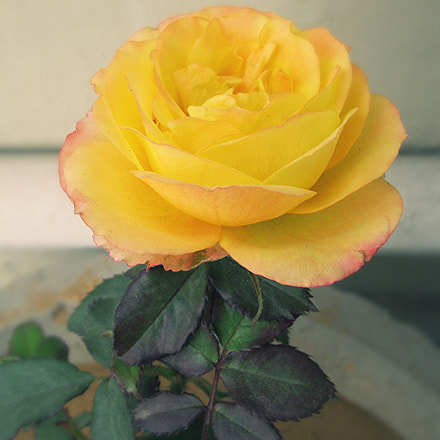 Yellow Rose, Canon POWERSHOT A3100 IS