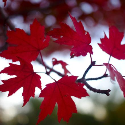 Maple Leaves, Canon EOS DIGITAL REBEL XSI, Canon EF-S 24mm f/2.8 STM