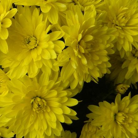 Chrysanthemum ( Belgian), Nikon COOLPIX L310