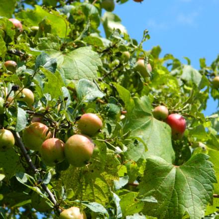 Wild Apples, Nikon COOLPIX L310
