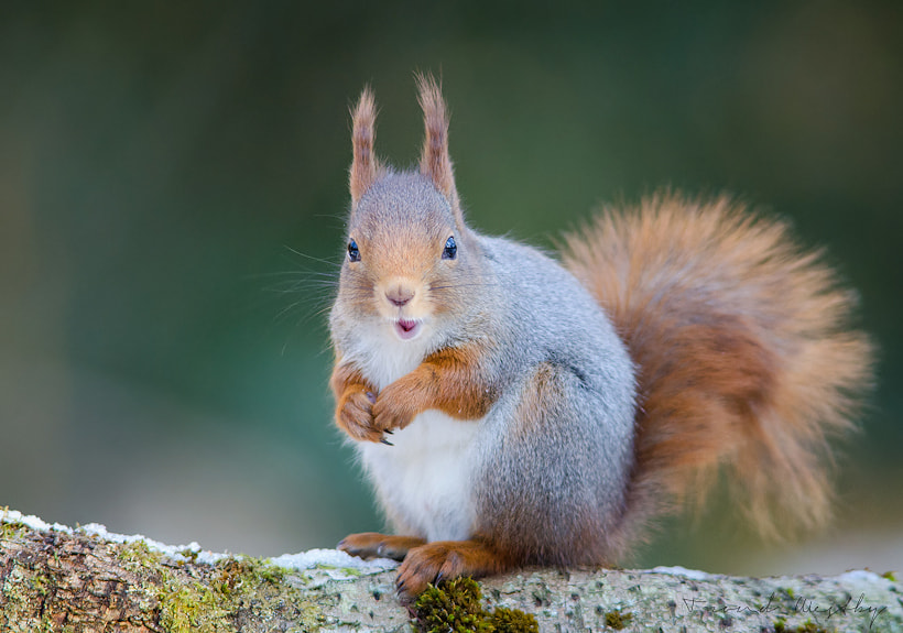 Photograph Red Squirrel by Trond  Westby on 500px