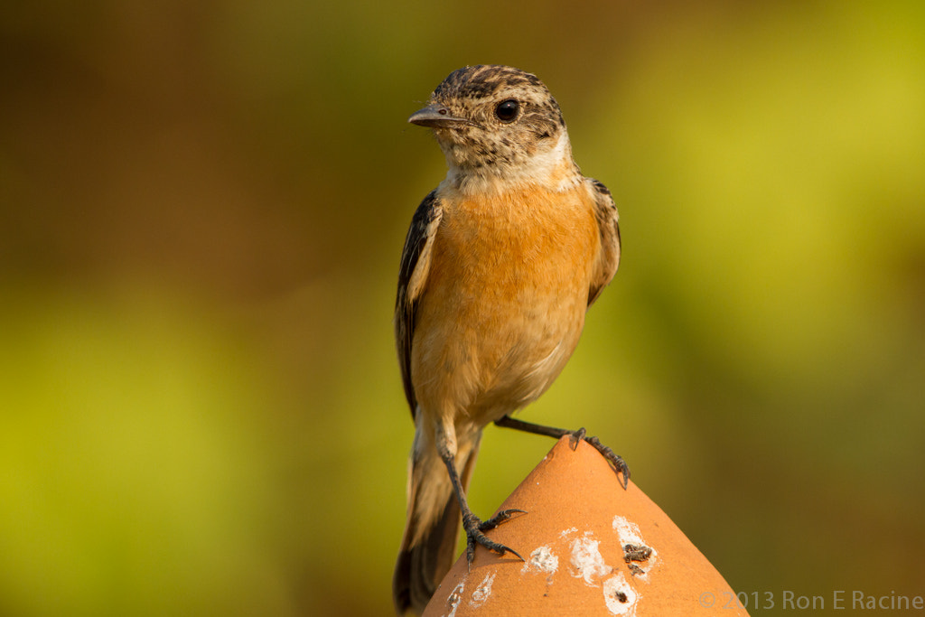 Photograph Female Siberian Stonechat by Ron E Racine on 500px