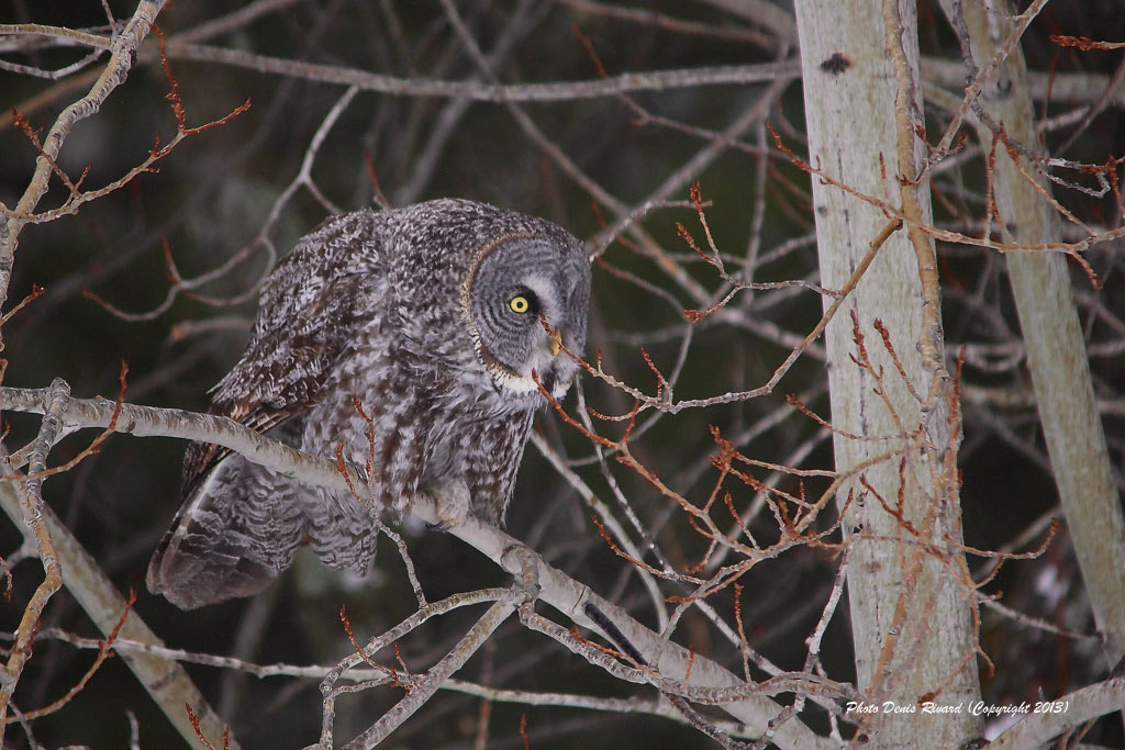 Photograph Great Gray Owl  by Denis Rivard on 500px