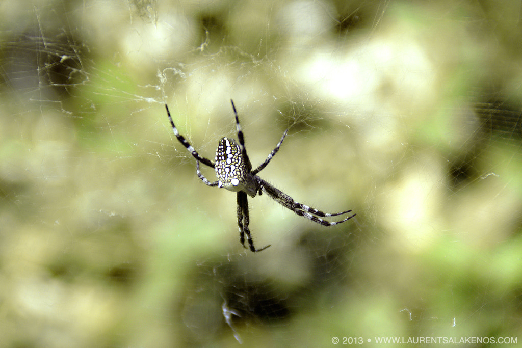 Photograph Spider by Laurent Salakenos on 500px
