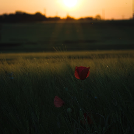 Poppy in the evening, Canon EOS 1100D, Sigma 70-300mm f/4-5.6 [APO] DG Macro
