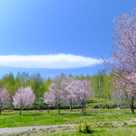 cherry blossoms blue sky, Fujifilm FinePix F80EXR