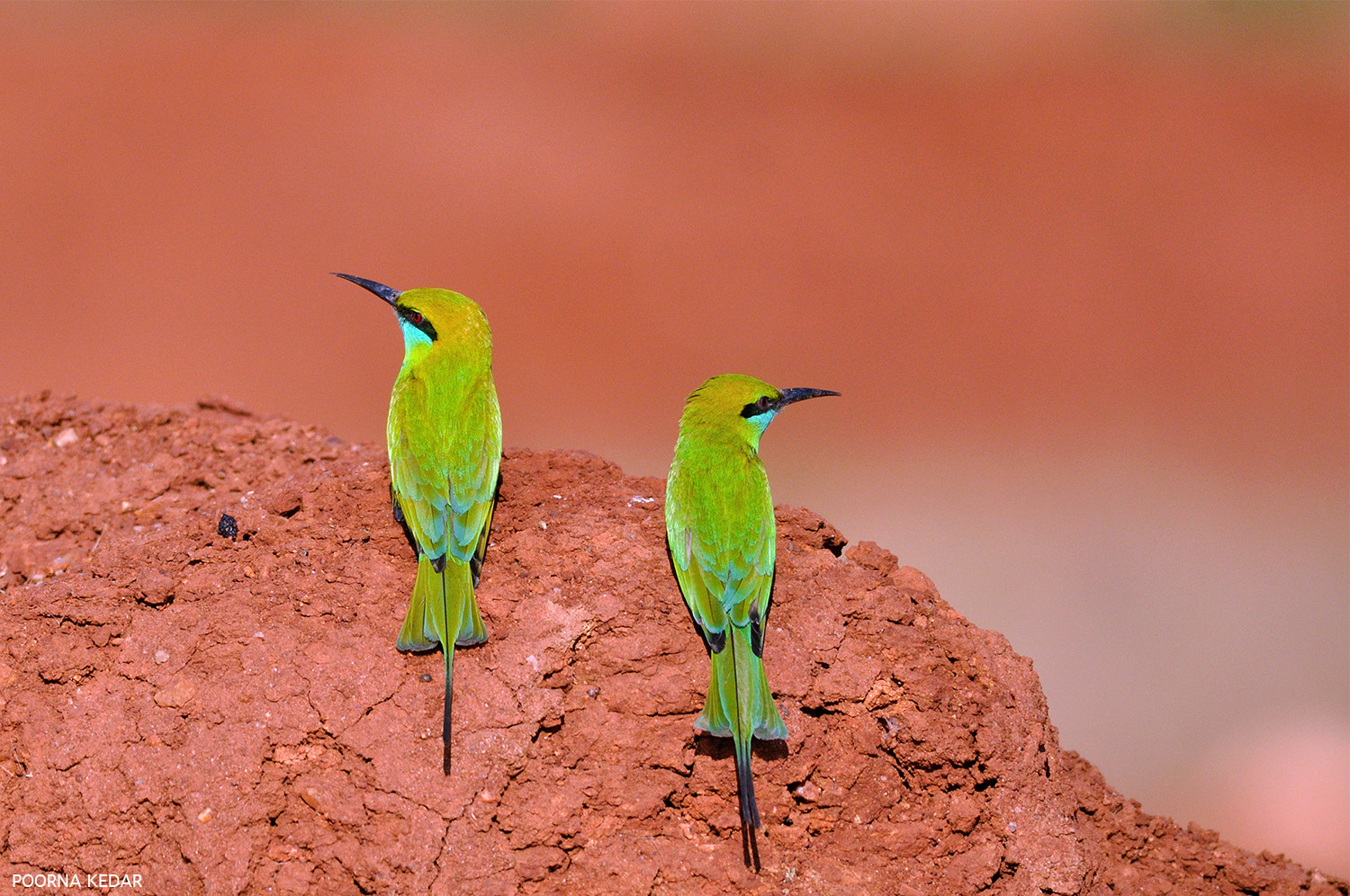 Photograph Mr. & Mrs. Green Bee Eaters by Poorna Kedar on 500px